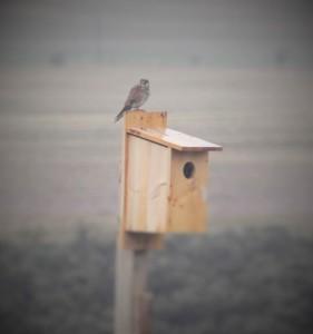 Kestrel sitting on a nesting box on Quail Run Farm. Photo: Aimee Kieffer