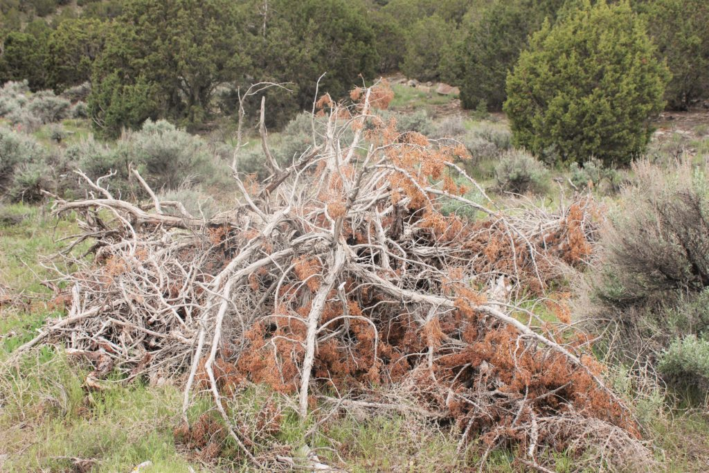 A bunch of juniper trees a developer removed. The resident said we could haul them off.