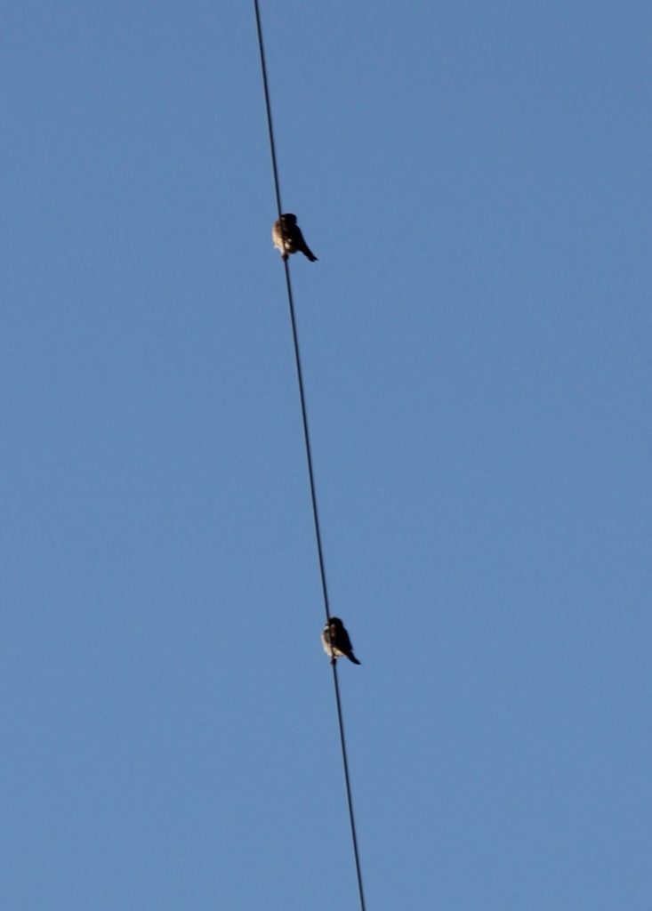 Kestrel pair watching as the camera is installed from a close by power line.