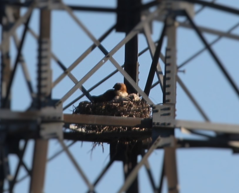 Red Tailed Hawks looking on from a near by power pole.