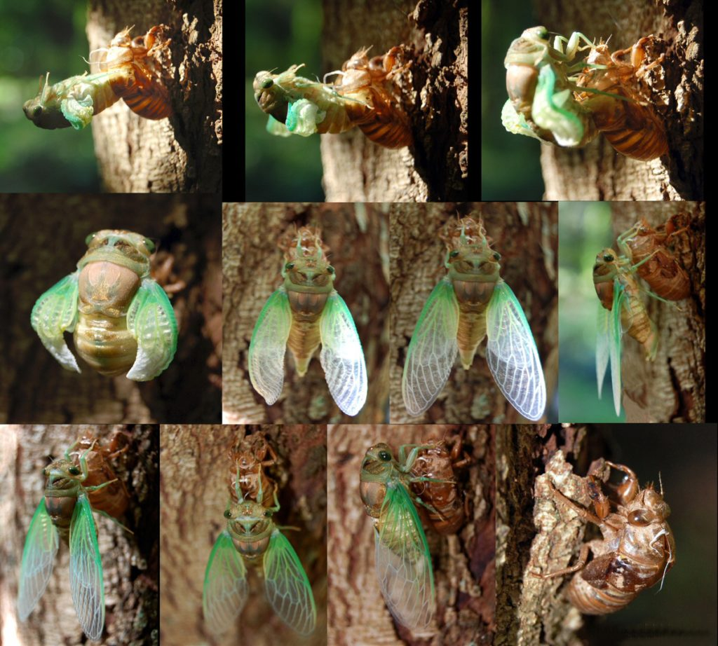 Adult_Cicada_Emerging_from_Nymph_Skin